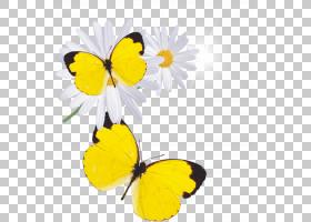 黄花,刷脚蝴蝶,飞蛾与蝴蝶,昆虫,传粉者,花瓣,花,蝴蝶和飞蛾,黄色
