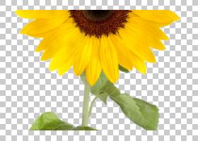 黄花,植物茎,花瓣,植物,雏菊家庭,黄色,向日葵,向日葵,一年生植物