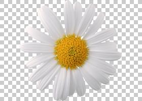黄花,牛眼雏菊,黛西,黄色,玛格丽特黛西,雏菊家庭,紫菀,花瓣,Cham