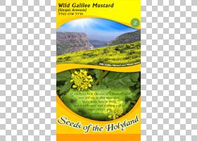 黄花,生态系统,黄色,植物群,杰西斯博特,希伯来语,花,圣地,加利利