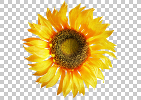 黄花,种子,黄色,关门,雏菊家庭,花瓣,向日葵,花粉,向日葵,花,大丽