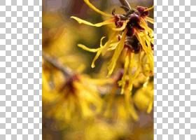 黄花,花,花瓣,花粉,金缕梅,载体油,油,原材料,黄色,配料,收敛剂,