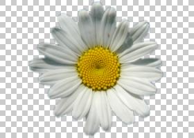 黄花,非洲菊,牛眼雏菊,黛西,黄色,玛格丽特黛西,雏菊家庭,紫菀,花