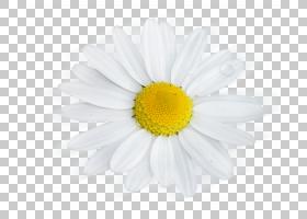 黄花,非洲菊,玛格丽特黛西,Chamaemelum Nobile,花瓣,雏菊家庭,牛