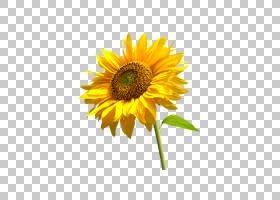 黄花,非洲菊,黄色,花瓣,向日葵,向日葵,种子,食物,雏菊家庭,一年