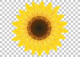 黄花,黄色,花瓣,向日葵,对称性,向日葵,葵花籽,花,雏菊家庭,普通