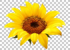 黄花,黄色,雏菊家庭,花瓣,向日葵,花,花粉,葵花籽,普通向日葵,
