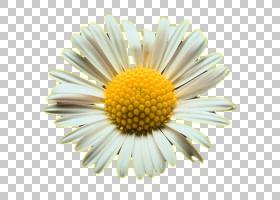 黄花,黛西,黄色,玛格丽特黛西,雏菊家庭,紫菀,花瓣,Chamaemelum N