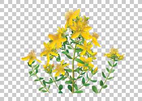 花卉剪贴画背景,切花,花,黄色,植物群,金丝桃,提取,德国洋甘菊,性