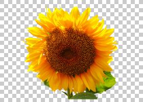 创作卡通,一年生植物,种子,雏菊家庭,花瓣,向日葵,花粉,书写系统,
