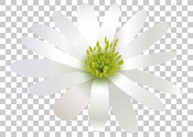 绿花,雏菊家庭,黄色,花瓣,Chamaemelum Nobile,植物群,植物,实心