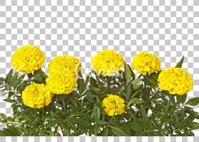 绿草背景,草,坦西,雏菊家庭,万寿菊,丁香,菊花,植物,拍摄,一年生