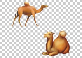 卡通家畜,阿拉伯骆驼,口吻,骆驼状哺乳动物,家畜,骆驼,动物,漫画,图片