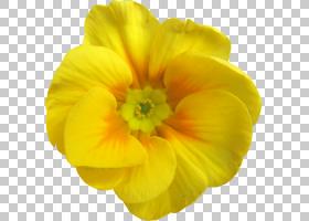 彩虹颜色背景,报春花,草本植物,一年生植物,夜报春花,维基红,郁金