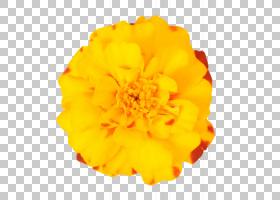 花卉剪贴画背景,橙色,金盏花,桃子,万寿菊,花瓣,黄色,切花,菊花,