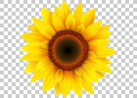 卡通花,星形目,雏菊家庭,花,黄色,花瓣,向日葵,关门,花粉,葵花籽,