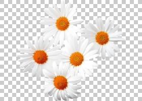 橙花,非洲菊,橙色,黛西,花卉,雏菊家庭,花瓣,向日葵,Chamaemelum
