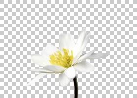 花卉剪贴画背景,白色,黛西,黄色,植物群,计算机,植物,植物茎,花瓣