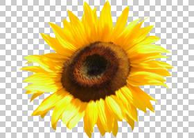 花卉剪贴画背景,种子,雏菊家庭,黄色,花瓣,向日葵,关门,花粉,葵花