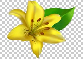 百合花卡通,莉莉,关门,花瓣,植物群,花粉,粉红色的花,颜色,植物,