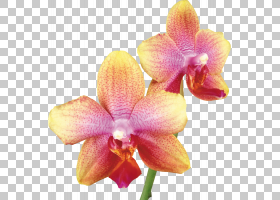 粉红色花卡通,兰花,洋红色,卡特利亚,蛾兰,花瓣,植物,石斛,粉红色