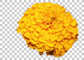 花盆,橙色,金盏花,花粉,锅万寿菊,雏菊家庭,万寿菊,花瓣,普通雏菊