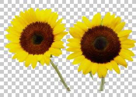 向日葵,种子,素食,雏菊家庭,菜肴,星形目,花粉,花瓣,葵花籽,植物,