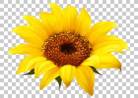向日葵卡通,花瓣,雏菊家庭,黄色,向日葵,花,葵花籽,花粉,普通向日