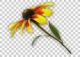 向日葵悬崖,非洲菊,黛西,锥花,雏菊家庭,黄色,向日葵,植物群,植物