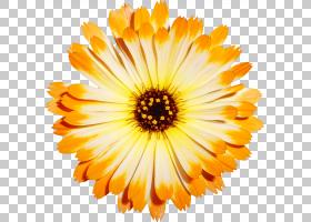 水彩花卉背景,非洲菊,一年生植物,橙色,黄色,金盏花,雏菊家庭,花