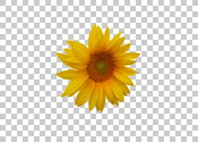 向日葵贴纸,非洲菊,黛西,黄色,雏菊家庭,花瓣,向日葵,葵花籽,向日