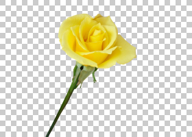花卉剪贴画背景,花卉,蔷薇,玫瑰秩序,玫瑰家族,植物,玫瑰,免费,动