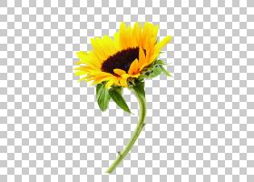 花卉剪贴画背景,花卉,雏菊家庭,花卉设计,黄色,花盆,花瓣,向日葵,