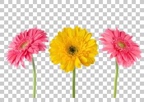 粉红色花卉背景,非洲菊,大丽花,插花,人造花,花卉,雏菊家庭,黛西,