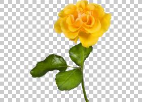 花卉剪贴画背景,草本植物,报春花,一年生植物,植物茎,切花,海棠,