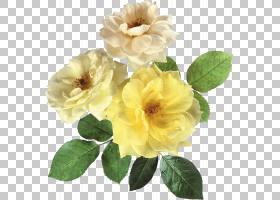花卉剪贴画背景,草本植物,花园玫瑰,一年生植物,蔷薇,花瓣,florib