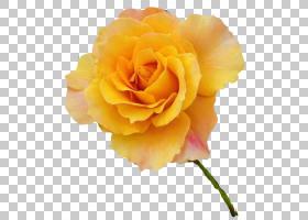 粉红色花卡通,花卉,植物,桃子,蔷薇,花瓣,玫瑰秩序,切花,玫瑰家族