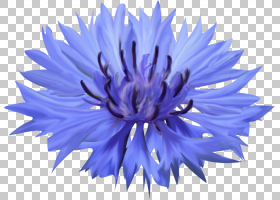 花卉背景,电蓝,雏菊家庭,植物,紫菀,紫罗兰,紫色,矢车草,花卉设计