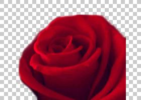 花卉剪贴画背景,中国玫瑰,洋红色,切花,floribunda,植物,花瓣,关