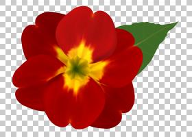 花卉剪贴画背景,报春花,草本植物,一年生植物,花瓣,植物,普通雏菊