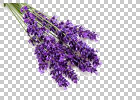 花卉剪贴画背景,紫罗兰,法国薰衣草,切花,紫色,植物,薰衣草,灌木,
