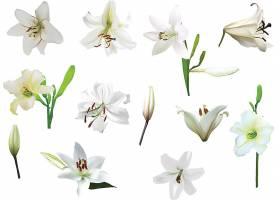 洁白的百合花背景