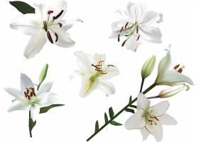百合花植物