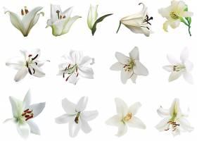 白色鲜花背景