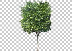家谱背景,飞机树族,分支,木本植物,灌木,叶,无花果树,观赏植物,小