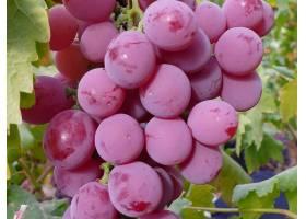 食物,葡萄,水果,壁纸(57)