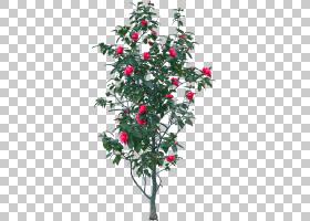 圣诞树像素,圣诞节,水叶亚目(Aquifoliales),水杨科,霍莉,细枝,分图片