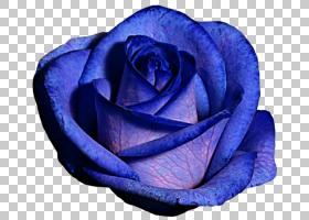 粉红色花卡通,蔷薇,花瓣,玫瑰家族,玫瑰秩序,植物,钴蓝,电蓝,丁香