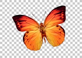 橙花,机翼,刷脚蝴蝶,橙色,飞蛾与蝴蝶,昆虫,粉虱科,帝王蝴蝶,传粉图片