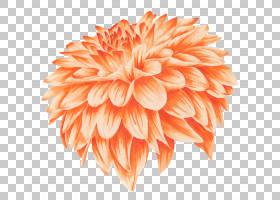 水彩花卉背景,大丽花,雏菊家庭,桃子,颜色,金盏花,红色,花卉设计,图片
